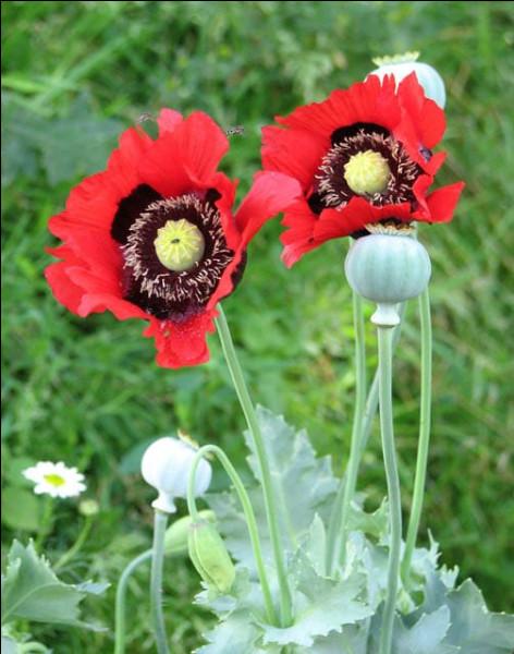 - 3 400 > Contrairement à ce qu'on aurait pu croire, la culture la plus ancienne de l'opium ne viendrait (jusqu'à présent) pas de Chine, mais ...