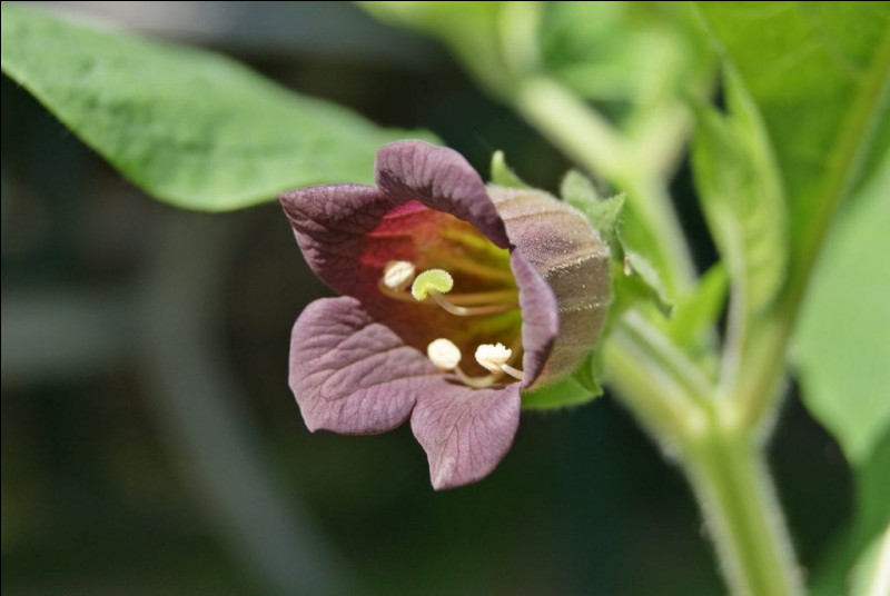 4 siècles avant J.-C., cette plante fut un remède : mais du remède au poison, il n'y a qu'un pas ! Méfiez-vous de faire une tisane de ...