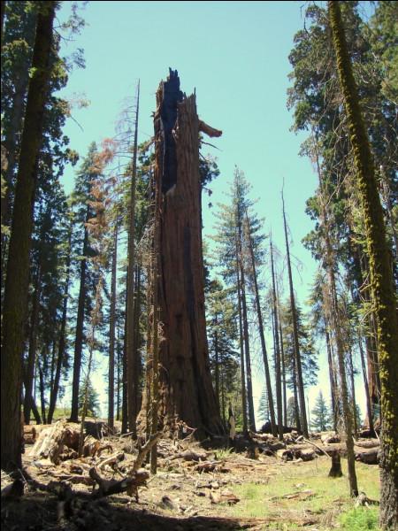 2 850 ans > C'est l'âge de ce séquoia géant, décimé et ravagé par maints incendies (le dernier en 2005) : comment le nomme-t-on et est-il encore vivant ?