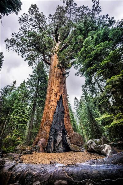 """Environ 3 000 ans > Le """"Grizzly Géant"""" (nommé ainsi en 1859) n'est que le ...e séquoia par la taille et ne représente qu'un """"modeste"""" volume d'à peine ... m3 !"""