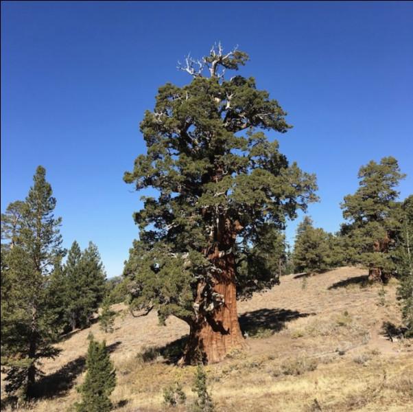 Entre 3 et 6 000 ans > Évidemment, c'est plutôt large, comme fourche(tte)... Mais cet arbre est le plus vieux de son espèce au monde : c'est un ...