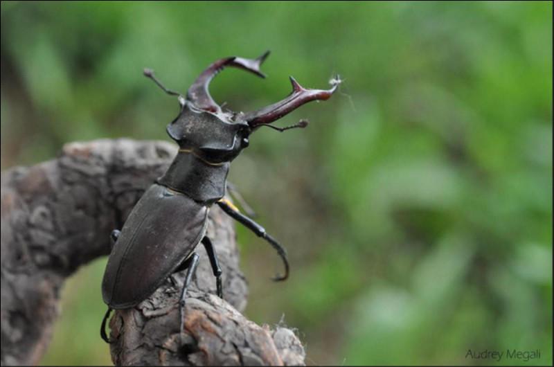 Les coléoptères sont des insectes qui :