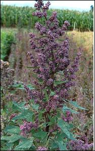 Quelle est cette plante herbacée cultivée depuis plus de 5 000 ans sur les hauts plateaux d'Amérique du Sud ?