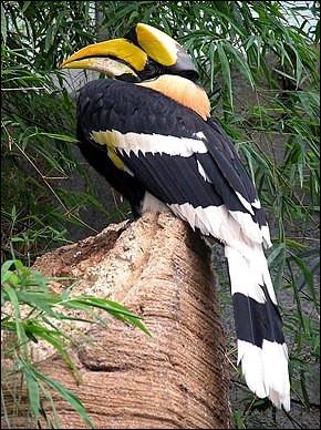 Quel est cet oiseau au bec énorme surmonté d'un casque jaune doré qui sert de chambre de raisonnance ?