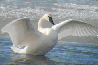 Quel est cet oiseau à plumage blanc au long cou, au bec court et noir, d'une d'envergure de trois mètres et au cri particulier qui lui donne son nom ?