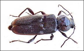 Quel est cet insecte parasite des bois des maisons à l'appétit vorace et dévastateur ?