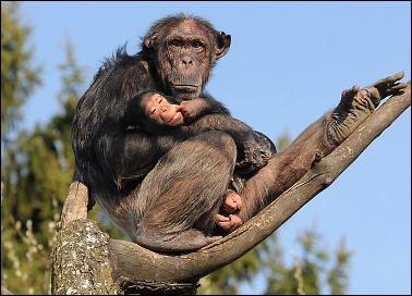 Quel est ce singe de la famille des hominidés, remarquablement intelligent, proche génétiquement de l'espèce humaine ?