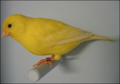 Quel est ce petit oiseau domestique chanteur de couleur jaune, le plus populaire des oiseaux de cage ?
