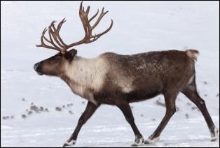 Quel est ce cervidé robuste, originaire des régions arctiques du Canada qui porte des bois importants ?