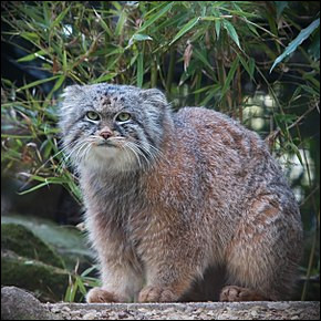 Quel est ce félin au corps trapu, à la fourrure épaisse, à la tête aplatie, animal agressif et solitaire ?