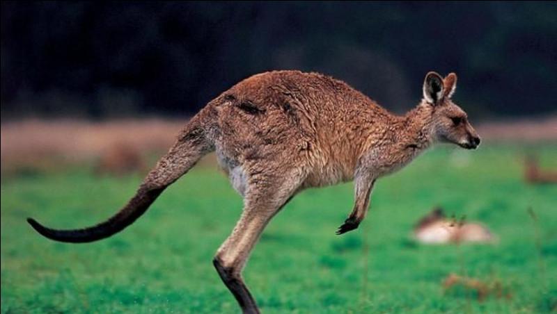 Quel est le nom du bébé du kangourou ?