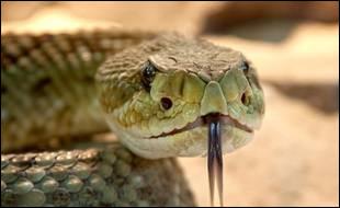 Quel est le nom du bébé du serpent ?