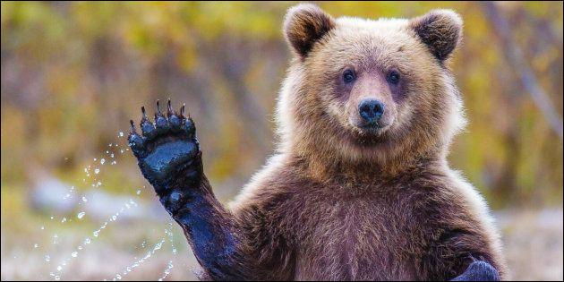 Quel est le nom du bébé de l'ours ?