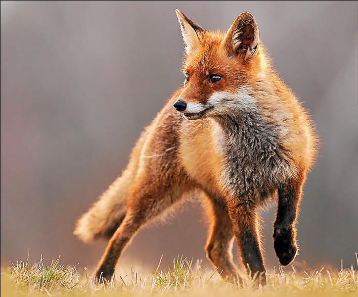 Quel est le nom du bébé du renard ?