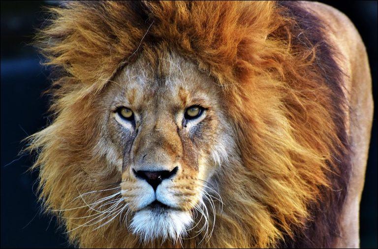 Quel est le nom du bébé du lion ?