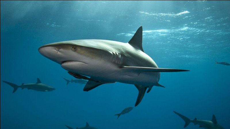 Quel est le nom du bébé du requin ?