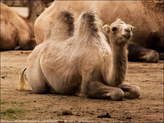 Quel est le nom du bébé du chameau ?