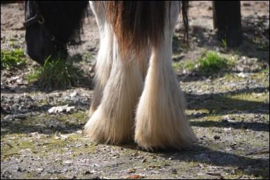 Ces poils soyeux que l'on retrouve le plus souvent sur les membres des chevaux de trait sont appelés...