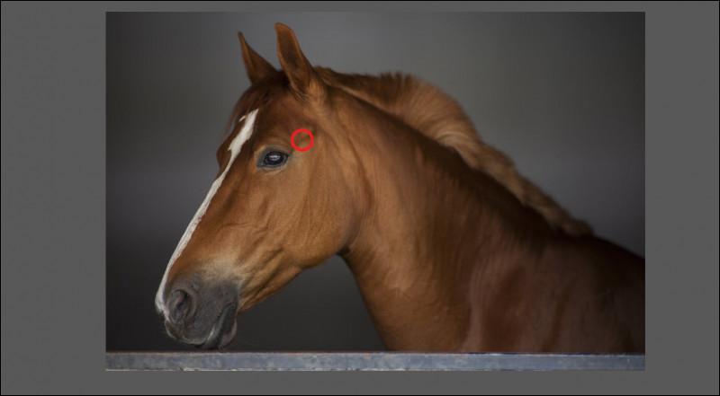 Quelle est cette partie de l'anatomie du cheval ?
