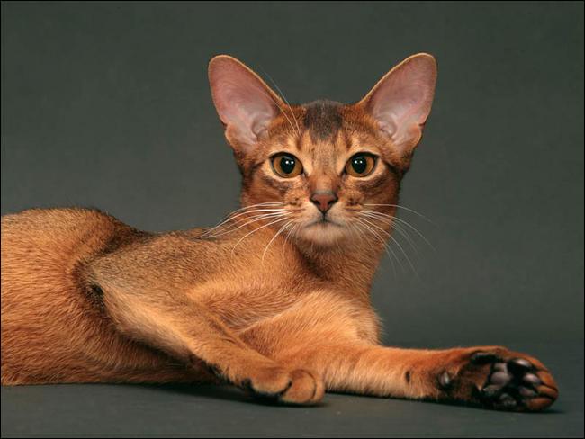 Animaux - Les races de chats