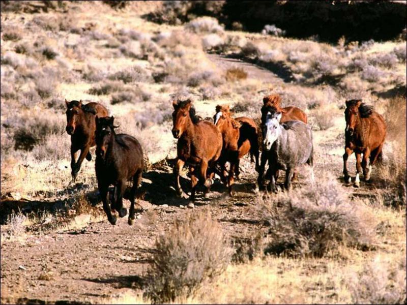 Comment s'appellent les chevaux sauvages en Amérique ?