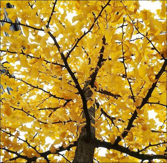 """Vous pouvez vous boucher le nez tout en cliquant, c'est permis ! Le """"gingko biloba"""" (ou """"arbre aux quarante écus"""") vous délivre son suave parfum ressemblant à s'y méprendre ..."""