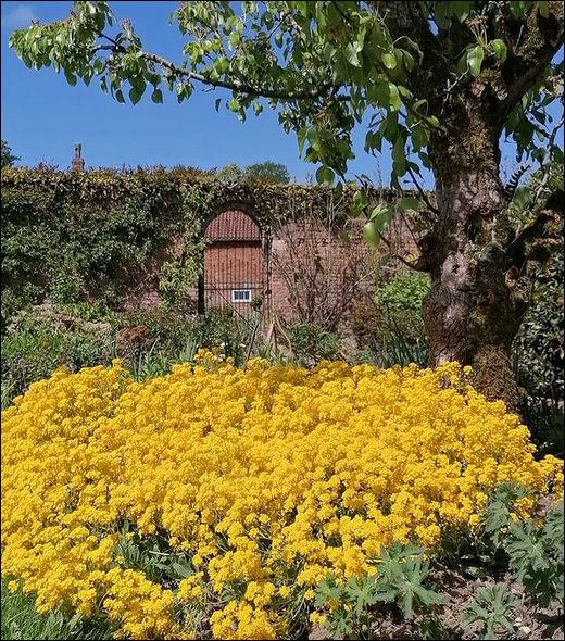 """""""Tout ce qui brille, nez pas dehors..."""", dit-on : c'est particulièrement vrai pour les massifs d'alyssum jaune qui exhalent un authentique fumet ..."""