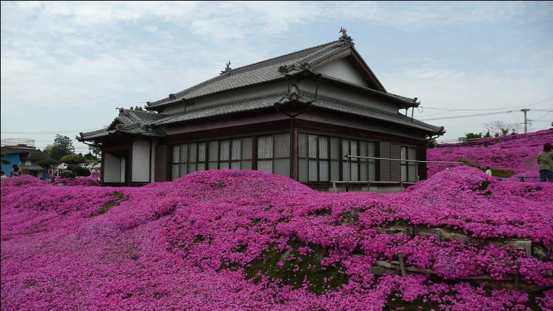 """Si c'est au Japon, vos """"phlox mousses"""" attireront des touristes : en Georgie, vous recevrez la visite de la maréchaussée (pour ne pas dire des flics...). Pour quelle raison ?"""