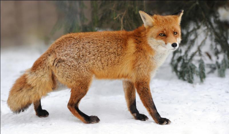 Quelle est la famille d'un renard ?