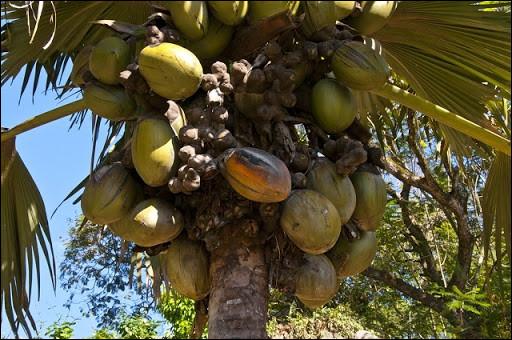 Le coco de mer, ou cocotier double des Seychelles, produit la graine la plus lourde du monde végétal. Combien pèse-t-elle ?