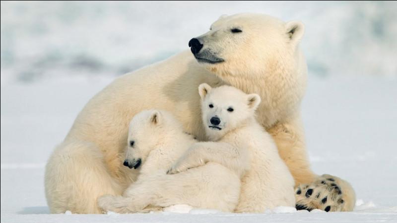 L'ours polaire est aussi agile que véloce. Il est plus rapide que le renne.