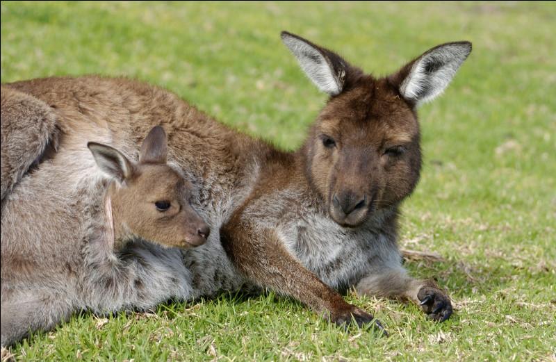 La femelle du kangourou qui perd son bébé peut donner naissance à un autre sans s'accoupler à nouveau.