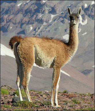 Quel est ce camélidé sauvage herbivore qui vit en Amérique du Sud dans les hautes montagnes jusqu'à 4 000 mètres ?