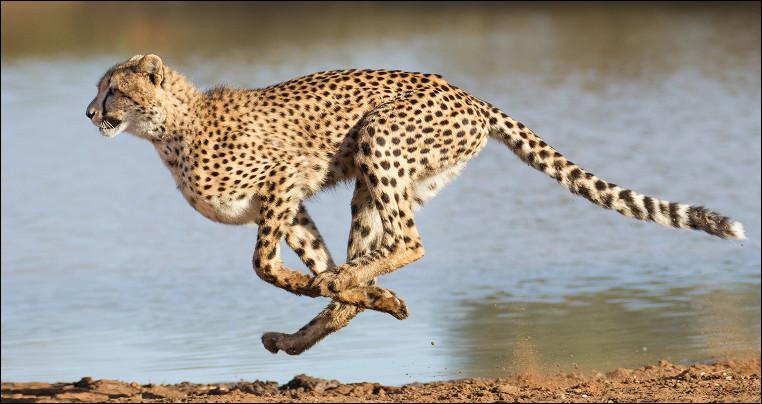 Quel est ce félin carnivore vivant en Afrique, considéré comme l'animal terrestre le plus rapide du monde pouvant atteindre 112 km/h ?