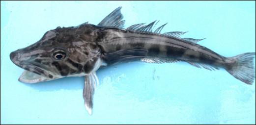 Quel est ce poisson qui vit à une profondeur de 1 000 mètres dans les eaux froides de l'Antarctique ?