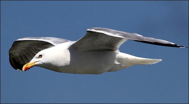 Quel est cet oiseau marin côtier, gris et blanc avec des pieds palmés et un long bec ?