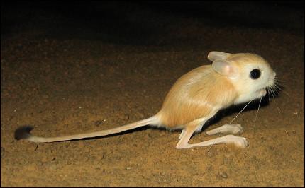 Quel est ce petit mammifère rongeur nocturne avec de grandes pattes postérieures et une très grande queue ?