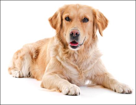 Quelle est cette race de chien, parfait compagnon des familles, un animal affectueux, docile et attachant ?