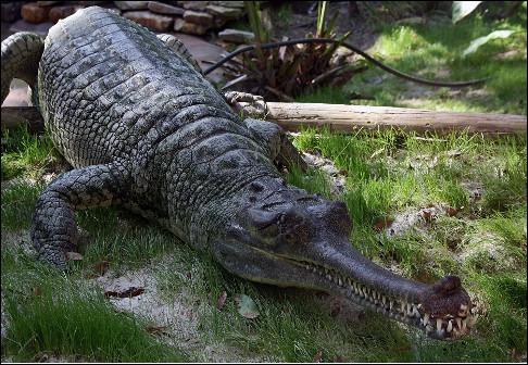 Quel est ce grand crocodilien d'environ 6 mètres avec une longue mâchoire étroite qui vit en Inde et au Népal ?