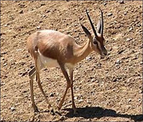 Quel est ce bovidé vivant dans les steppes d'Afrique et d'Asie, une petite antilope agile et rapide ?