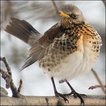 Quel est cet oiseau migrateur au plumage brun tacheté ?