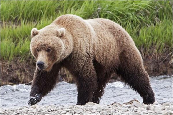 Quel est cet ours sauvage, qui vit au nord des États-Unis et au Canada, un animal massif, rapide et doté d'une force considérable ?