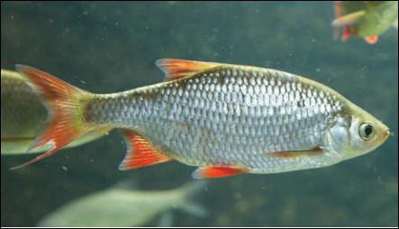 Quel est ce poisson d'eau douce de petite taille très apprécié pour sa chair ?