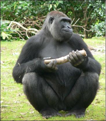 Quel est ce singe proche de la génétique de l'humain, animal puissant et pacifique qui vit dans les forêts tropicales d'Afrique ?