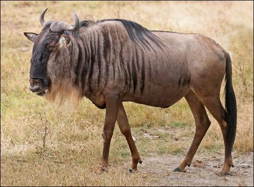 Quel est ce bovidé sédentaire avec une silhouette qui semble constituée de parties d'autres animaux, vivant dans la savane africaine ?