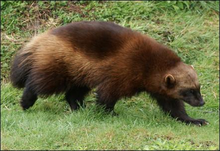Quel est ce mammifère omnivore et solitaire, farouche et agressif qui vit en Amérique du Nord et en Eurasie ?