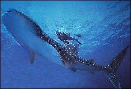 Quel est le plus grand requin du monde ?