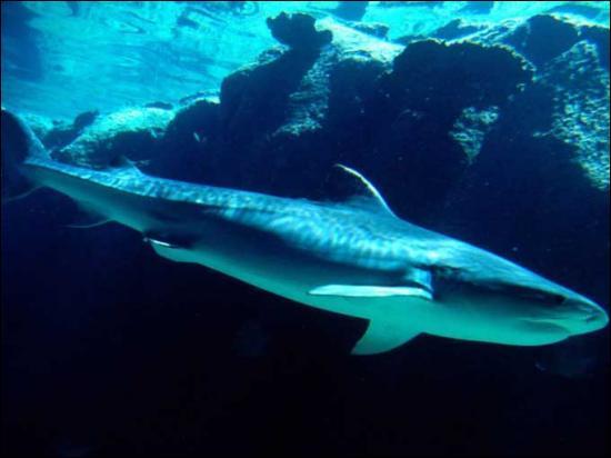 Combien de temps les requins peuvent-ils vivre ?