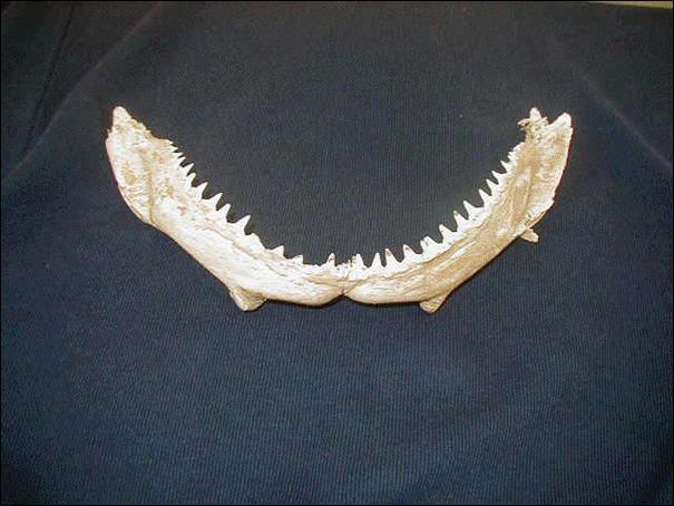 Quelle est la longueur d une dent de requin ?