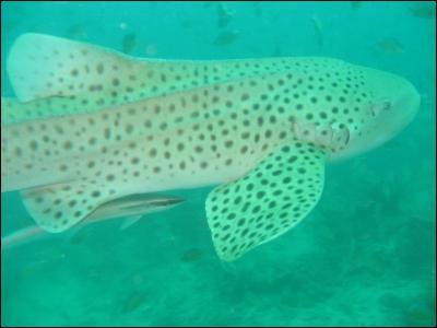 Quel est ce requin ?